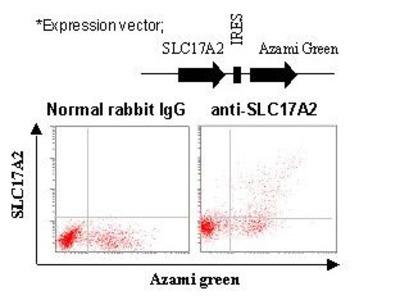 Anti-SLC17A2 (NPT3) (Human) pAb