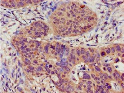 TRPC1 antibody