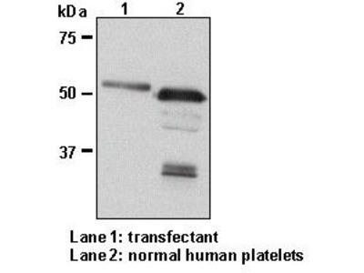 Anti-beta1-Tubulin pAb