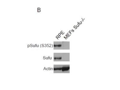 Rabbit Polyclonal Suppressor of Fused Antibody