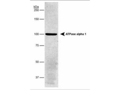 Sodium Potassium ATPase Alpha 1 Antibody (464.6) - Purified