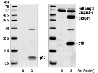 Cleaved Caspase-8 (Asp384) (11G10) Mouse mAb