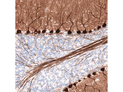 Anti-PCP4 Antibody