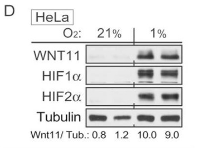 HIF-2 alpha Antibody from Novus Biologicals