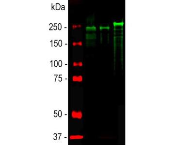 Chicken Polyclonal NF-H Antibody