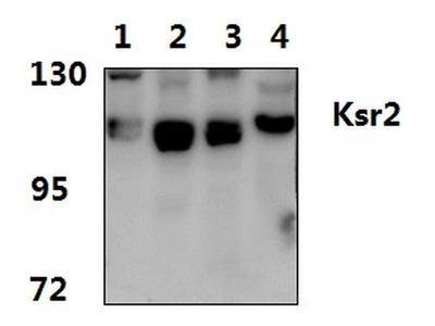 KSR2 Polyclonal Antibody