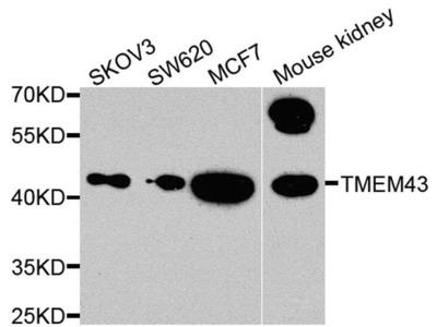 TMEM43 Polyclonal Antibody