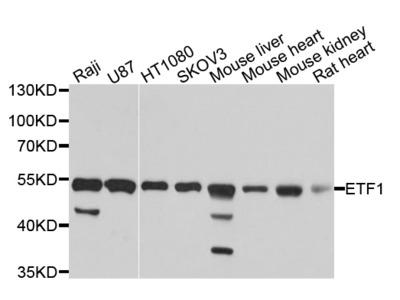 eRF1 Polyclonal Antibody