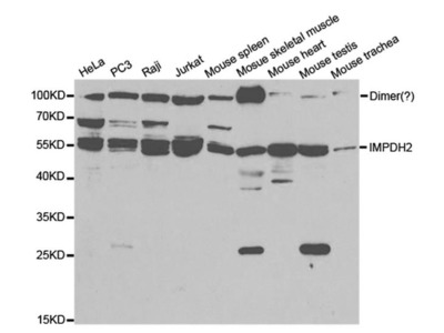 IMPDH2 Polyclonal Antibody
