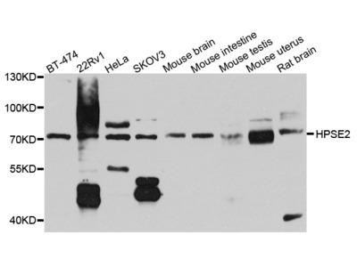 HPa2 Polyclonal Antibody