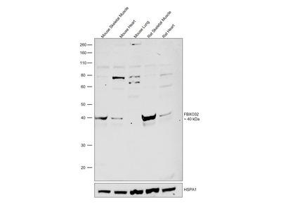 FBXO32 Polyclonal Antibody