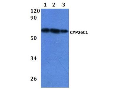 CYP26C1 Polyclonal Antibody