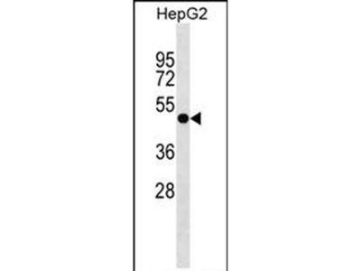 FAPP2 Polyclonal Antibody