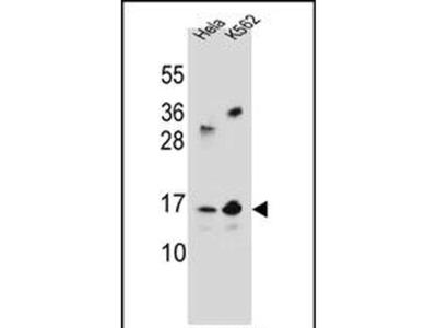 LOC391742 Polyclonal Antibody