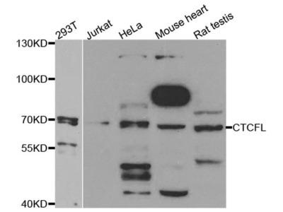 CTCFL Polyclonal Antibody
