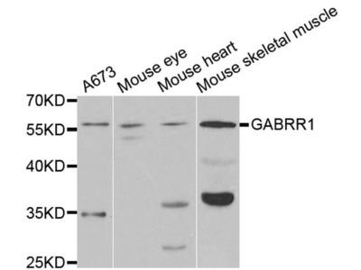 GABRR1 Polyclonal Antibody