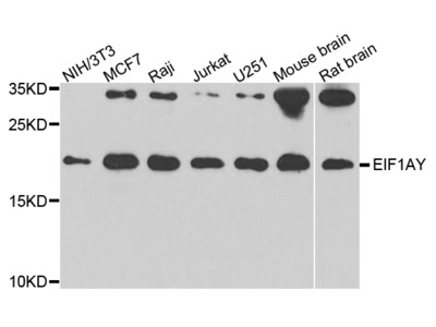 eIF1AY Polyclonal Antibody