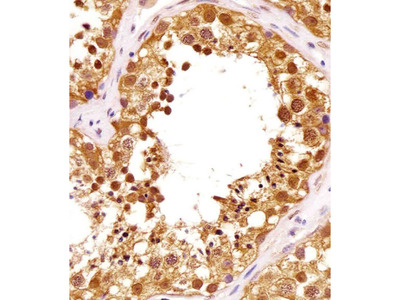 PIN1 Monoclonal Antibody (855CT1.7.5)