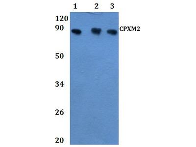 CPXM2 Polyclonal Antibody