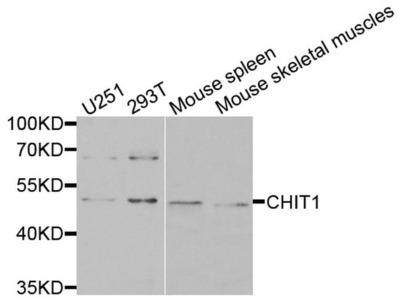 Chitotriosidase Antibody