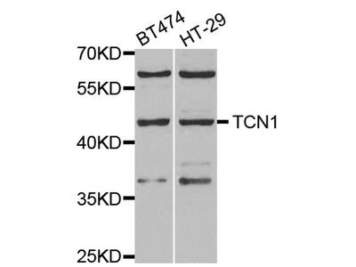 TCN1 Polyclonal Antibody