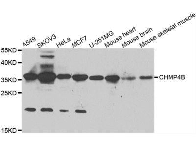 CHMP4B Antibody
