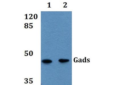 GRAP2 Polyclonal Antibody