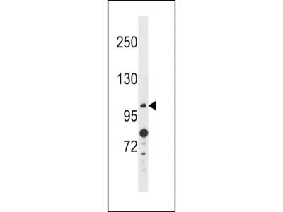 ANO4 Polyclonal Antibody