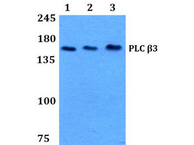 PLCB3 Polyclonal Antibody