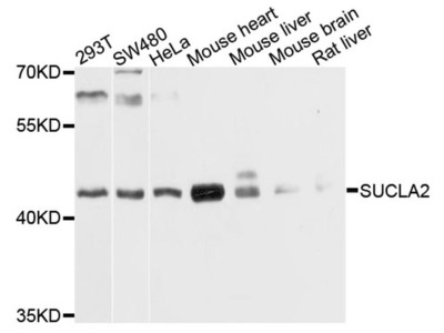 SUCLA2 Polyclonal Antibody
