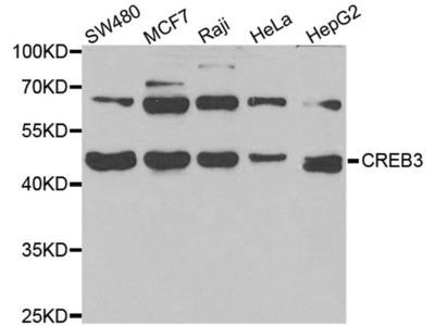 LZIP Polyclonal Antibody