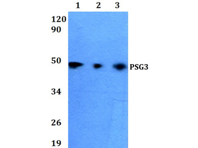 PSG3 Polyclonal Antibody