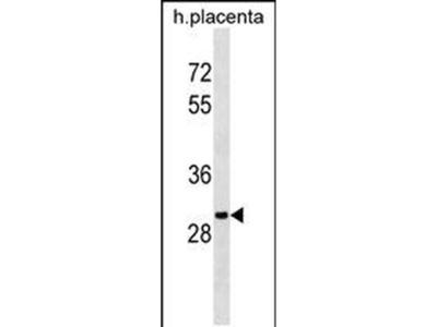 OR5B12 Monoclonal Antibody (609CT8.2.4)
