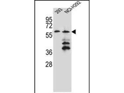 PRAMEF12 Polyclonal Antibody