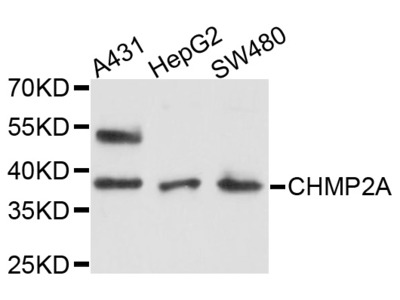 CHMP2A Antibody