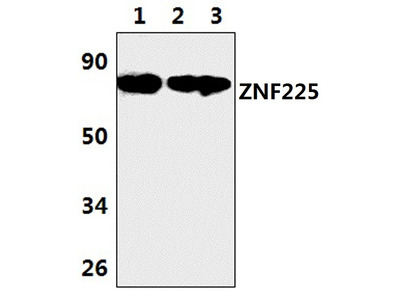 ZNF225 Polyclonal Antibody