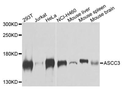 ASCC3 Polyclonal Antibody