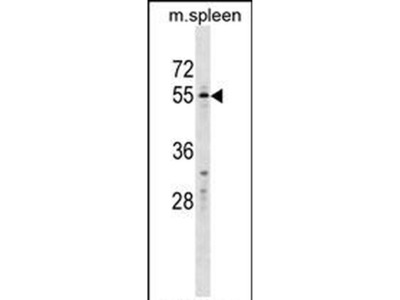 GASP1 Polyclonal Antibody
