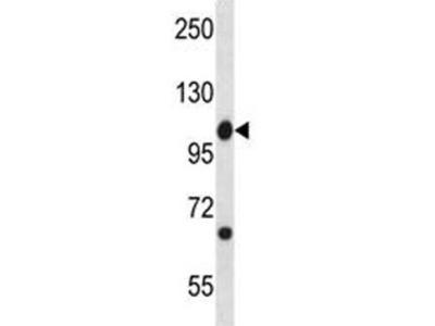 c-Abl Antibody / Abl1