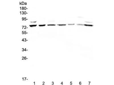ELF1 Antibody / E74 like factor 1