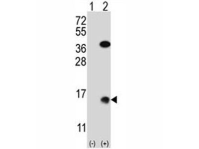 SUMO2 Antibody (Xenopus)