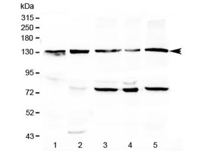 CD133 Antibody / PROM1 (C-Terminal Region)