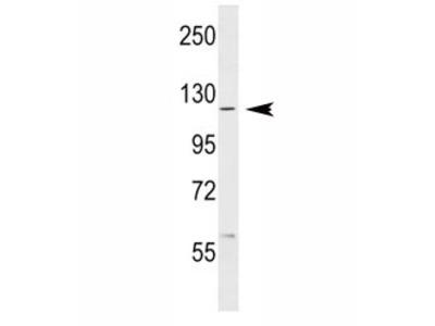 c-Abl Antibody (ABL1)