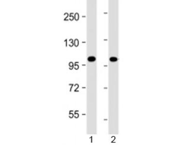 PRDM16 Antibody (Mouse Monoclonal)