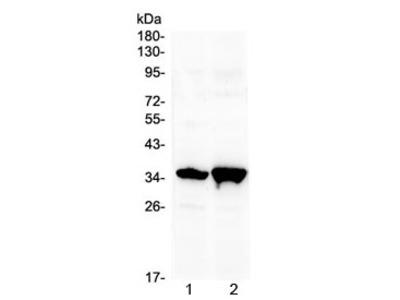 Six3 Antibody (N-Terminal Region)