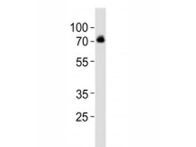 DBH Antibody