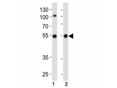 Parkin Antibody