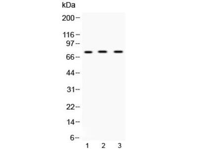 ABCG8 Antibody