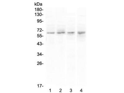 CCKBR Antibody