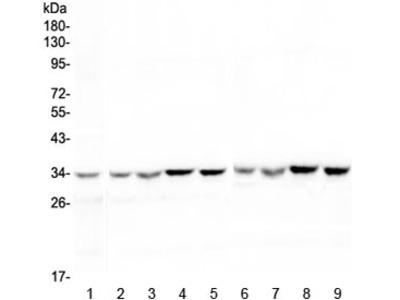 HLF Antibody / Hepatic Leukemia Factor